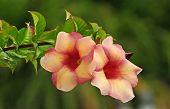 foto of trumpet flower  - Pair of creamy peach - JPG