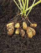 stock photo of root-crops  - potato vegetable with tubers in soil dirt surface background - JPG