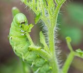 picture of hornworms  - Macro close up of tomato hornworm caterpillar with multiple eye spots destroying a tomatoes plant in garden with motion blur on its jaws as it chews - JPG