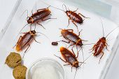 stock photo of pesticide  - American cockroach  - JPG