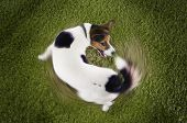 stock photo of jacking  - Elevated view of Jack Russell terrier chasing tail view on grass - JPG