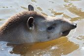 picture of tapir  - Young Tapir swimming showing head in water - JPG