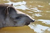 pic of tapir  - Head of Tapir in water swimming gently - JPG