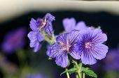 Cerca de un púrpura o violeta geranio en flor