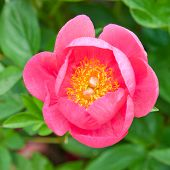 Coral Pink Peony.