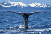 picture of whale-tail  - The tail of a Sperm Whale diving - JPG