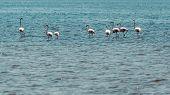 Wading Flamingos