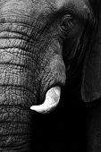 picture of elephant ear  - Artistic close up of an African elephant in black and white - JPG