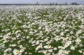 foto of dike  - Dike with daisies in bloom on the island Tiengemeten in Netherlands - JPG