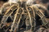 Frightening Giant Tarantula