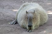 Capybara Lying And Resting