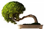 stock photo of bonsai  - Bonsai tree side view with a white background - JPG