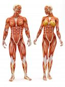 Male and Female muscular skeletal system