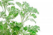 Fresh Green Artemisia Absinthium (absinthium, Absinthe Wormwood, Wormwood, Silver Mound, Common Worm