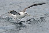 stock photo of albatross  - Shy Albatross landing on water - JPG
