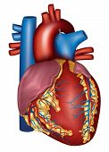 picture of coronary arteries  - Human heart detailed anatomy isolated on a white background - JPG