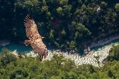 European Vulture