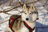 image of husky sled dog breeds  - dog breed Siberian Husky sled in harness - JPG