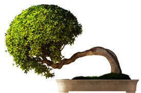 image of bonsai tree  - Bonsai tree side view with a white background - JPG