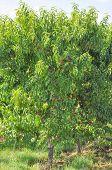 Prunus Fruit Tree