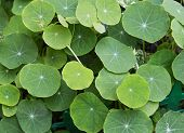 pic of nasturtium  - macro shot of a group of nasturtium leaves - JPG