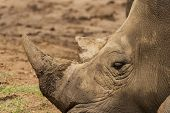 Rhinoceros having a rest