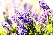Bunch Of Lavender Flowers Background