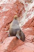 Sea lion, Islas Ballestas, Peru