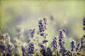 Vintage photo of lavender in the field