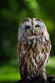 Barred Owl (strix Varia) poster