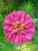 Close-up Of Pink Zinnia Flower On Top