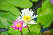 Beautiful Pink And White Lotuses Blooming In The Pond