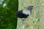 Hooded crow,nestling,chick.