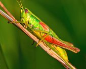 Grasshopper On A Halm Of Grass In Summer