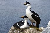 Male And Female Blue-eyed Antarctic Shag At The Nest In The Colony