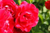 pic of climbing roses  - Flowering climbing rose  - JPG