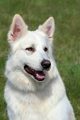 stock photo of swiss shepherd dog  - Detail of White Swiss Shepherd Dog in the garden - JPG