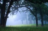 Foggy Woods or Forest in the early morning