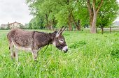 Cute Wet Donkey Animal Graze In Pasture Grass
