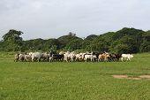Afrikan Cattle Between Green Palms