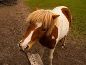 pic of split rail fence  - This image is of a miniature horse chewing on a split rail fence - JPG