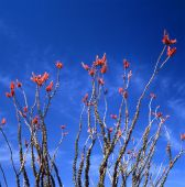 pic of ocotillo  - Springtime in the Sonoran Desert. The Ocotillo is the strangest looking plant of the desert. Not a cactus but usually referred to as one.