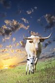 Longhorn Cow And Calf Grazing At Sunrise