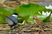 stock photo of tern  - common tern feeding its chicks in the nest  - JPG