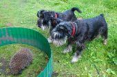 two zwergshcnauzer dogs and hedgehog