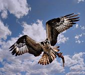 stock photo of osprey  - osprey with fish in talons during flight - JPG