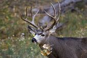stock photo of mule  - adult male mule deer with a nice rack in Zion NP Utah - JPG