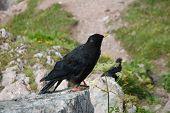 Black Alpine Bird