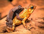 mating tropical toads Rhinella typhonius a small amphibian of the tropical amazon rain forest of Brazil Peru, Bolivia, Ecuador