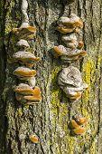 Brown Mushrooms Growing On Tree Trunks